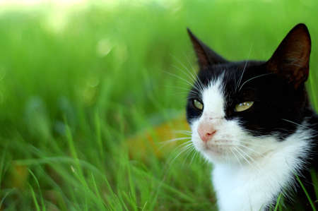 black and white cat. background is green - grass. outdoor photography. photo
