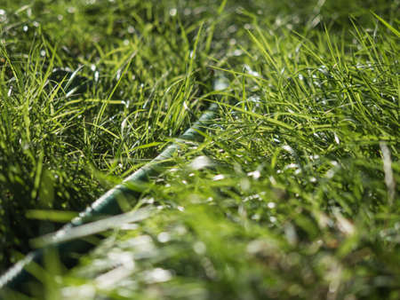 tight focus: Close up of fresh thick grass. Green grass macro photographed in bright, contrasting light