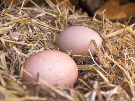 Close-up natural brown chicken eggs on a bed of straw. Eggs on the roost close up with blurred background and the soft, selective focus Stock Photo