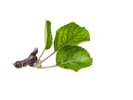 vegetative: Apple leaves isolated on a white background. Leaf from an apple tree cut from background