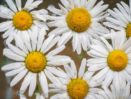 Field of daisies floating in the water. Chamomile, top view with small depth of field. Flowers with white petals and yellow pistils photographed closeup with soft focus on nature blurred background Stock Photo