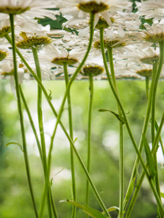 White field daisies floating in the water. Photo chamomile flowers on the bottom, underwater, closeup with blurred background and shallow depth of field. Environmental background. Stock Photo