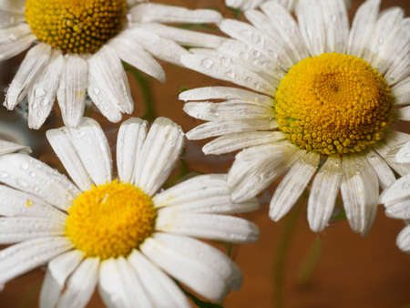 chamomile flower: Field of daisies floating in the water. Chamomile with drops of water. Flowers with white petals and yellow Sands photographed closeup with soft focus on blurred background. Nature background. Stock Photo