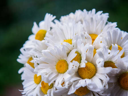 A bouquet of white field daisies on a green blurred background. Flowers with white petals and yellow pistils close-up photographed with a soft focus. Summer composition