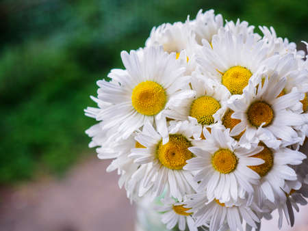 chamomile flower: A bouquet of white field daisies on a green blurred background. Flowers with white petals and yellow pistils close-up photographed with a soft focus. Summer composition