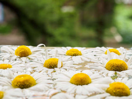 chamomile flower: Field of daisies floating in the water. Chamomile with drops of water. Flowers with white petals and yellow pistils photographed closeup with soft focus on blurred background. Nature background.