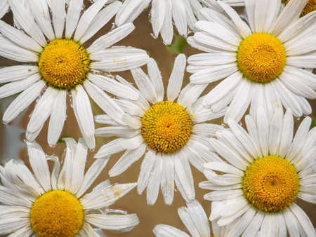 daisy wheel: Field of daisies floating in the water. Chamomile, top view with small depth of field. Flowers with white petals and yellow pistils photographed closeup with soft focus on nature blurred background Stock Photo