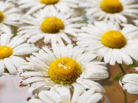 floating: Field of daisies floating in the water. Chamomile with drops of water. Flowers with white petals and yellow pistils photographed closeup with soft focus on blurred background. Nature background.