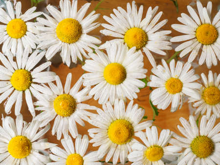 daisy wheel: Field of daisies floating in the water. Chamomile with drops of water. Flowers with white petals and yellow pistils photographed closeup with soft focus on blurred background. Nature background.