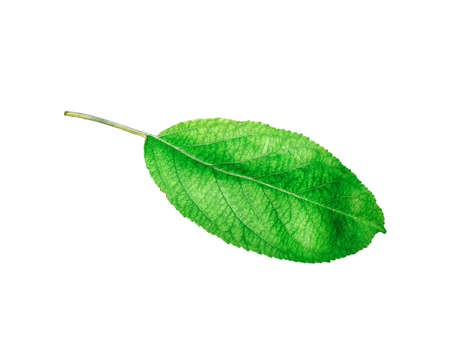 Whole leaf of apple with stalk isolated on a white background, close-up. A fresh single apple leaf cut out with the texture and clipping path.