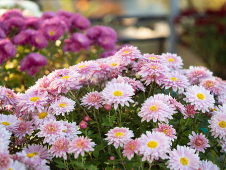 Multicolor chrysanthemums growing in flowerbed, close up view. Floral background. Crown daisies blossoming with multicolor petals. Marguerites blooming. Blurred background. Selective soft focus