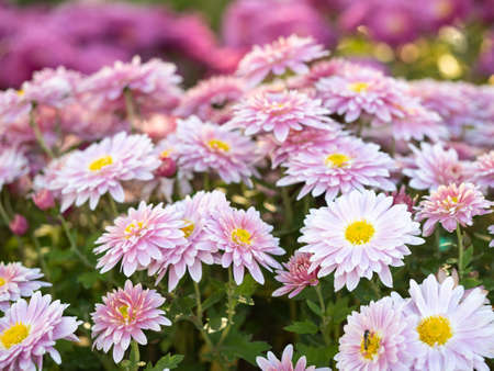 Close up view on chrysanthemums blossoming in summer field. Floral background. Pink marguerites flowering. Crown daisies blooming with pink petals. Blurred background. Selective soft focus