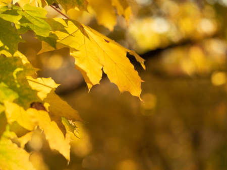 Yellow leaves on the branch with bokeh effect, close up view. Autumn forest, nature background. Colorful foliage in October wood. Golden bokeh. Blurred background. Selective soft focus