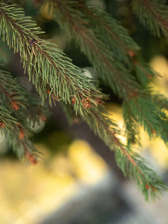 Green pine needles with small brown cone, close up view. Bokeh effect. White and golden bokeh. Pine tree in autumn forest. Blurred background. Selective soft focus