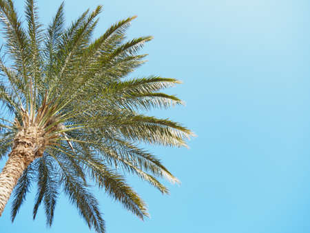 Green thatch palm against background of clear blue sky, medium view. Egypt in february, nature background. Selective soft focus. Blurred background