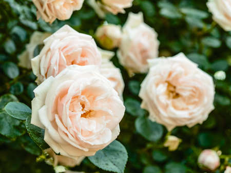 Rose buds. Close up view to bushes of flowers. Roses are tenderly pink color.