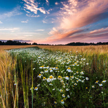 daisies field photo