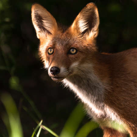 living organisms: foxy face