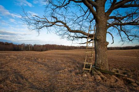 ladders in a oak tree photo