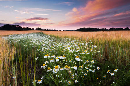 daisies field in sunset photo