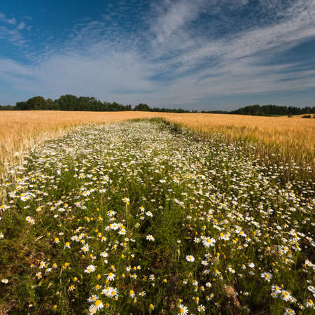 fields of cereal with daisies photo