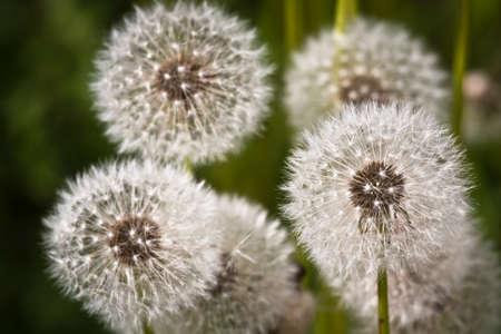 pappus: dandelion fluff close-up