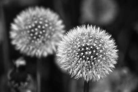 dandelion fluff close-up photo