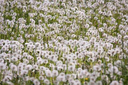 pappus: dandelion field