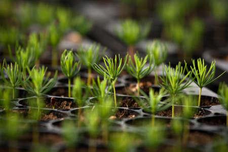 ash tree: spruce seedlings