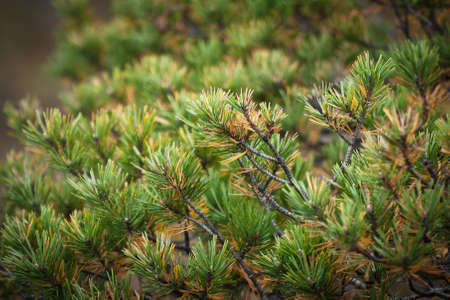 pine needles photo