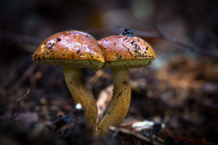 muscaria: fungi in wild forest Stock Photo