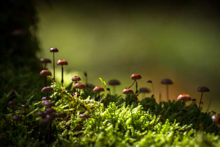 muscaria: Fungi in wild forest
