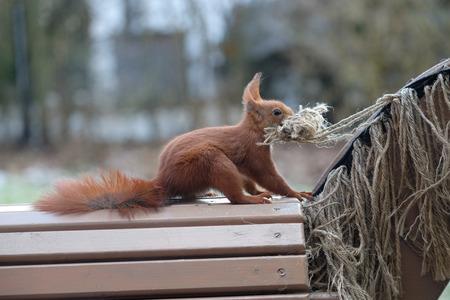 Squirrel  Sciurus vulgares