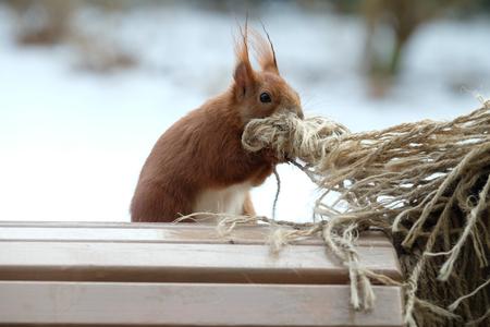Squirrel / Sciurus vulgaris 版權商用圖片 - 97320608