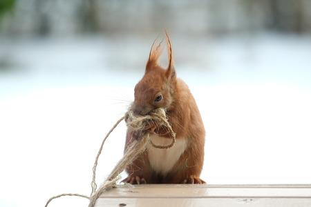 Squirrel / Sciurus vulgaris 版權商用圖片 - 97381408