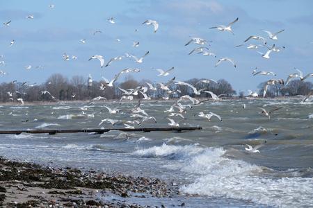 Gulls foraging