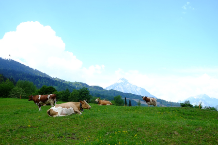 Cattle on pasture (CH)