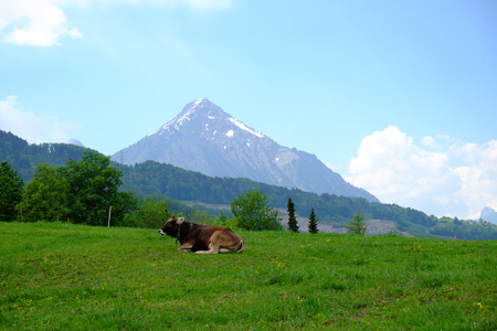 Cow lies in the pasture in front of a mountain massif