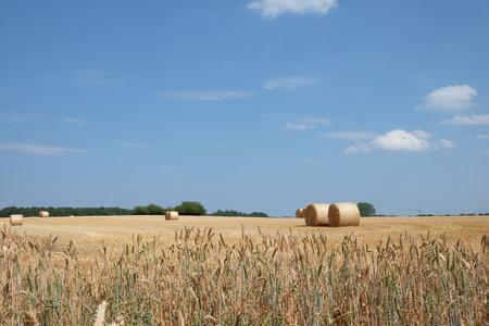Wheat harvest under blue sky Stock Photo