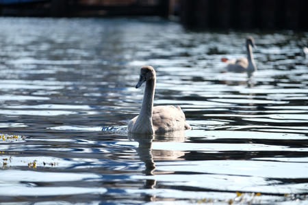 Swan pair on the water Stock Photo