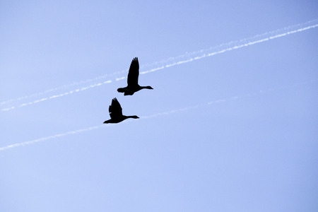 Greylag geese with contrails