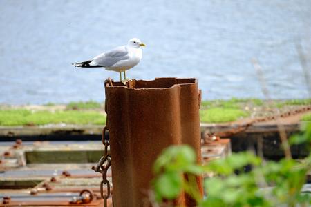 Seagull on a bollard