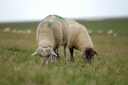 Sheep graze on the dike for coastal protection Standard-Bild - 130056158