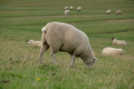 Sheep on the dyke as a landscape keeper