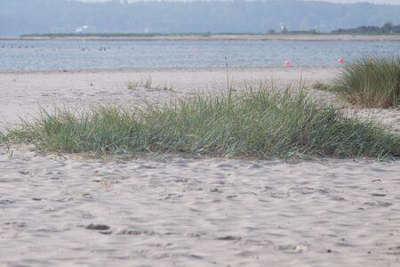 Beach grass grows in the sand on the coast Stok Fotoğraf