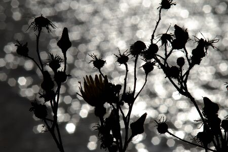 Thistle in backlight on the Baltic Sea