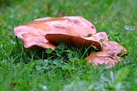Mushroom on the wet lawn Stok Fotoğraf