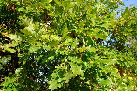 Sunny morning under oak trees