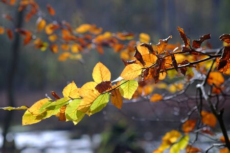 Withering beech leaves in autumn