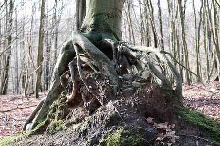 Exposed tree roots above the forest floor
